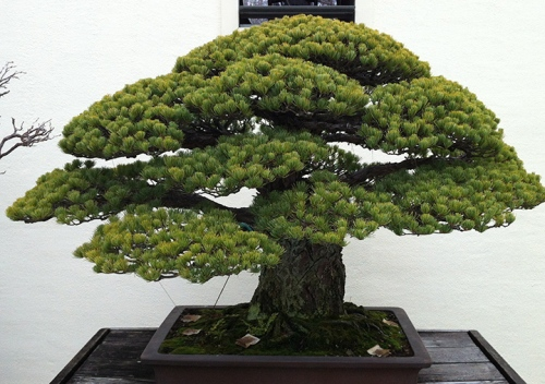 Green Bonzai Tree - DC
