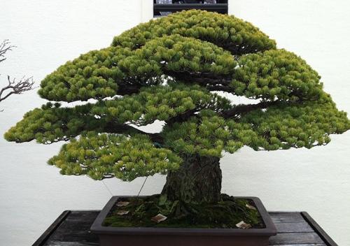 Green Bonzai Tree - DC