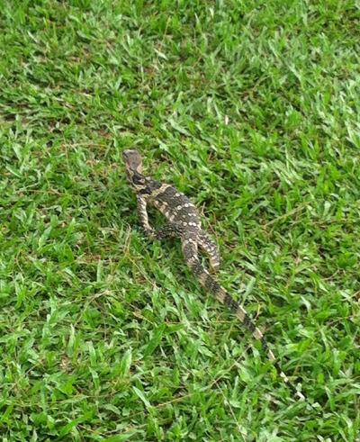Green Lizard - Bangkok